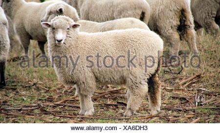 see you sheep - Stock Photo