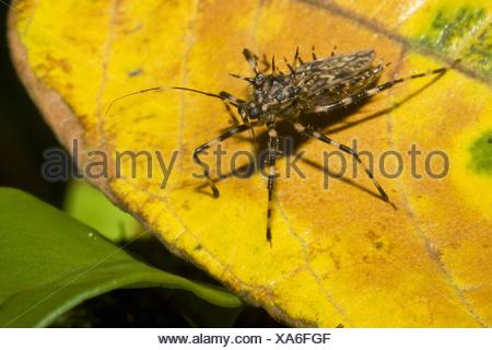A heavily spined assassin bug, order Hemiptera, family Reduviidae  Photographed in Costa Rica - Stock Photo