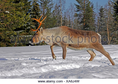 reindeer, caribou (Rangifer tarandus), walking through the snowy Lapland, Finland, Lapland - Stock Photo