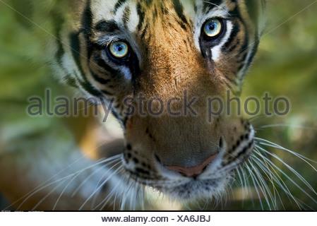 Bengal Tiger looking up Bandhavgarh India - Stock Photo