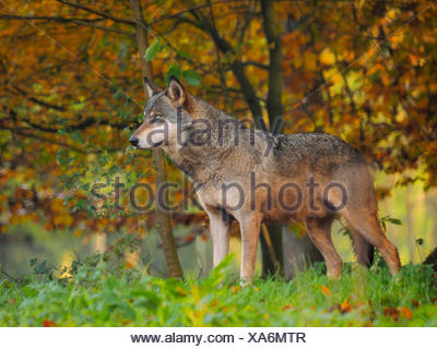 European gray wolf (Canis lupus lupus), standing at the forest edge in autumn, Germany, Bavaria - Stock Photo