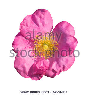 Wild rose pink and yellow isolated on white - Stock Photo