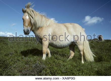 Dartmoor Pony - Equus ferus caballus - Stock Photo