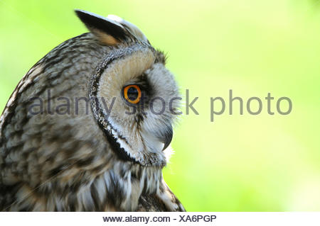 Long eared owl, Asio otus, owl, owls, night owls, ear owls, bird, animal, animals, Germany, Europe, - Stock Photo