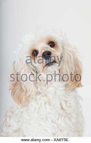 Mixed breed, white, long haired Cockerpoo /  Cockapoo dog, head portrait. Poodle Cocker spaniel cross, - Stock Photo