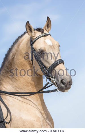 Lusitano. Portrait of dun stallion with tack. Portugal - Stock Photo