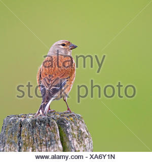 linnet (Carduelis cannabina, Acanthis cannabina), male sitting on a pole, view from behind, Netherlands, Arkemheen - Stock Photo