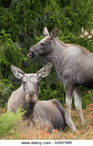 Two mooses in forest - Stock Photo
