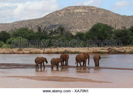 African elephant (Loxodonta africana), herd of elephants at the Uaso Nyiro River, Kenya, Samburu National Reserve - Stock Photo