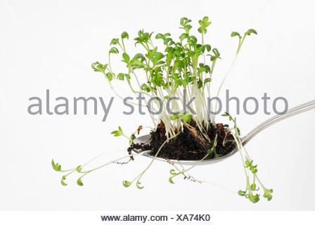 Garden cress (Lepidium sativum) - Stock Photo