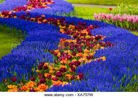 Gardens, Grape Hyacinth (Muscari Armeniacum) and Tulips (Tulipa) in Keukenhof, Holland, Netherlands, Europe - Stock Photo