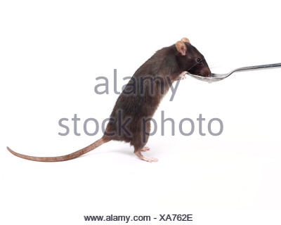 A domesticated rat drinking from a teaspoon. - Stock Photo
