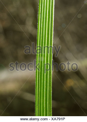 tufted hair-grass (Deschampsia cespitosa), leaf in backlight, Germany, Baden-Wuerttemberg - Stock Photo