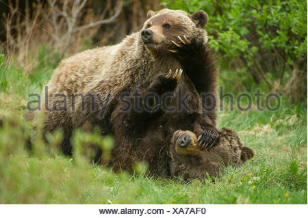 A grizzly bear cub pushes down with large paws on its mother's face. - Stock Photo