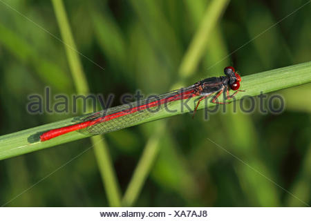 Small red damselfly (Ceriagrion tenellum), on a blade of grass, Germany - Stock Photo