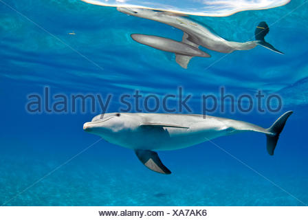 Bottlenose dolphin (Tursiops truncatus) with surface reflection, in shallow water over a sand bank. Sandy Ridge, Little Bahama Bank, Bahamas. Tropical West Atlantic - Stock Photo