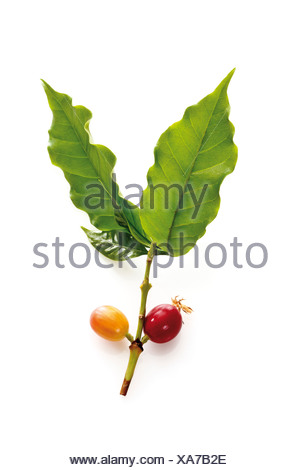 Coffee plant (coffea arabica) with ripe and unripe berries, elevated view - Stock Photo