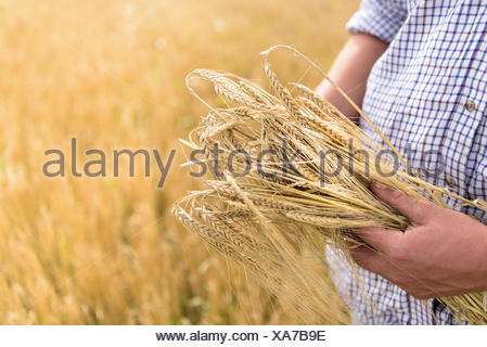 Farmer inspecting crop of organic barley in field, close up - Stock Photo