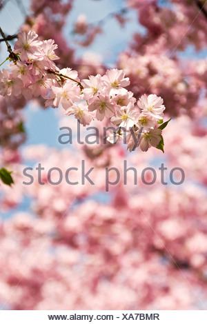 Berlin, Germany, blue budding cherry - Stock Photo