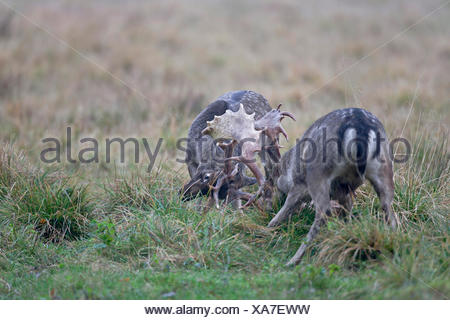 fallow deer (Dama dama, Cervus dama), two stags fighting, Denmark, Sjaelland - Stock Photo