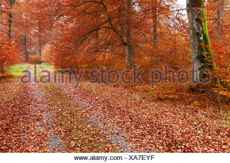 Beech Forest in autumn, Baden-Wurttemberg, Germany / (Fagus sylvatica) - Stock Photo