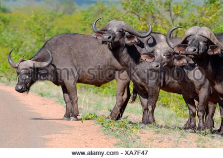 African buffaloes (Syncerus caffer) standing in row by the side of the paved road with one Red-billed oxpecker (Buphagus - Stock Photo