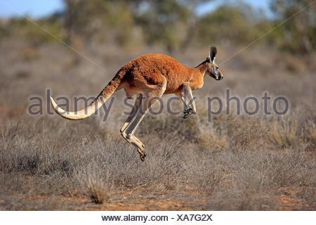 Red Kangaroo, adult male jumping, Sturt Nationalpark, New South Wales, Australia / (Macropus rufus) - Stock Photo
