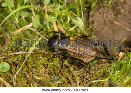 Field cricket (Gryllus campestris), female beside tunnel, Baden-Württemberg, Germany - Stock Photo