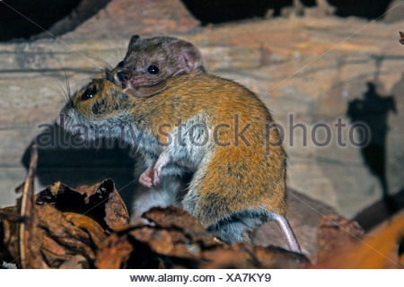 least weasel (Mustela nivalis), with caught mouse, Germany - Stock Photo