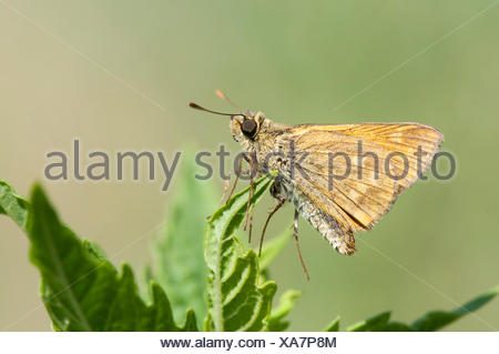Silver Spotted Skipper Butterfly, Hesperia comma, Macin sulucu valley, Ciucurova valley, Dobrogea, Romania, resting on leaf, showing underside of wing - Stock Photo