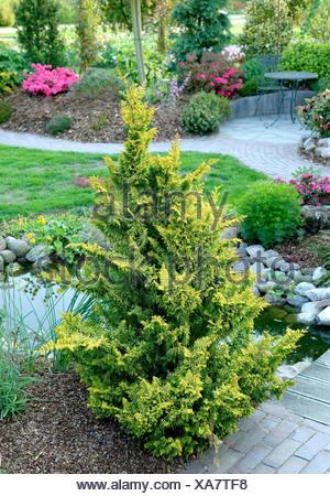 Japanese cypress, Hinoki cypress, Hinoki (Chamaecyparis obtusa 'Fernspray Gold', Chamaecyparis obtusa Fernspray Gold), cultivar Fernspray Gold - Stock Photo