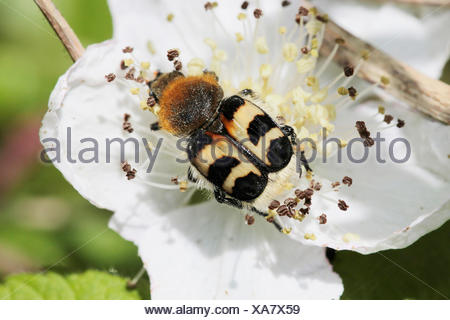 bee chafer, bee beetle (Trichius fasciatus), sitting on a white flower - Stock Photo
