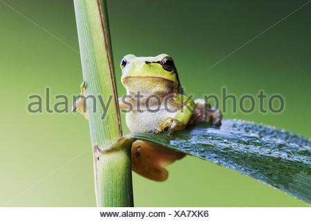 Common Tree Frog (Hyla arborea) climbs on reed - Stock Photo