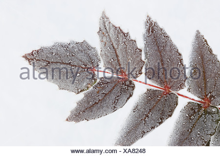 Snow covered leaves - Stock Photo