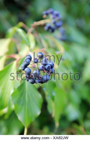Berries of ivy, Hedera helix - Stock Photo