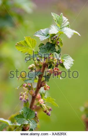 Currant, Blackcurrant:Ribes nigrum 'Ben Nevis', Growing outdoor on the bush. - Stock Photo