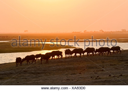 Herd of african buffalos or Cape buffalos (Syncerus caffer) at sunset, Chobe River, Chobe National Park, Botswana, Africa - Stock Photo