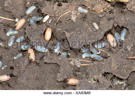 garden ants. Exposed Nest Of Black Garden Ants, Lasius Niger, With Workers, Larvae And Cocoons Ants :