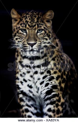 chinese leopard - Stock Photo