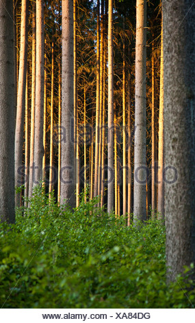 spruce forest in evening light, Germany, Thueringen - Stock Photo