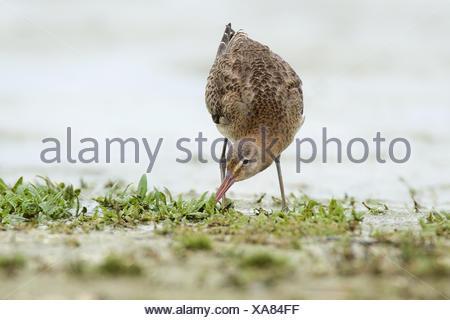 Black-Tailed Godwit - Stock Photo
