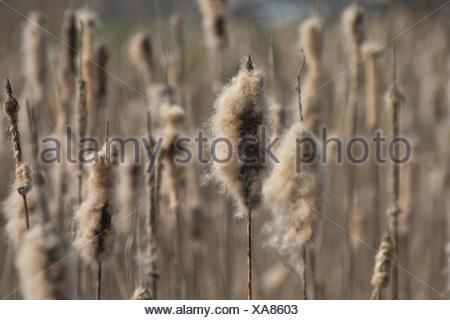 Pipe pistons, Typhaceae, winter, humid, Jura, Switzerland, Europe, plants - Stock Photo