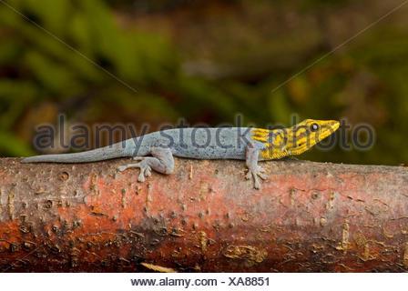 Painted Dwarf Gecko, White-headed Dwarf Gecko (Lygodactylus picturatus), male - Stock Photo