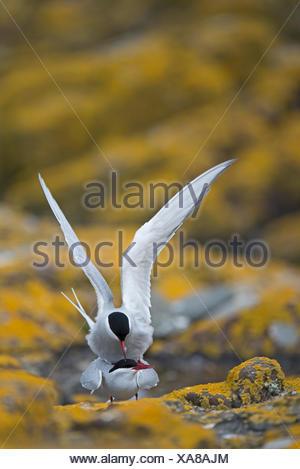 Arctic Tern Sterna paradisaea mating Inner Farne Northumberland - Stock Photo
