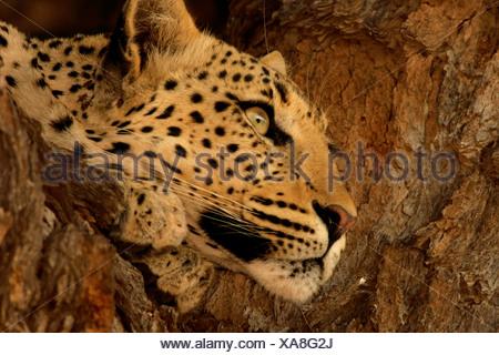 leopard (Panthera pardus), lying on a tree, portrait, South Africa, Nordkap, Kgalagadi Transfrontier NP, Kalahari - Stock Photo