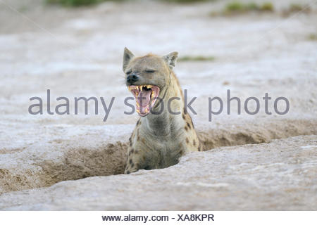 Yawning spotted hyena (Crocuta crocuta) at its burrow, Amboseli, Kenya - Stock Photo