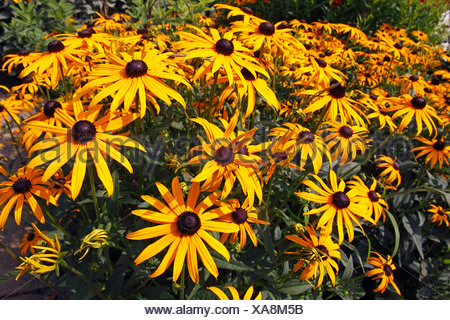 Cone flower cultivar Goldsturm (Rudbeckia fulgida var. sullivantii cultivar Goldsturm) - Stock Photo
