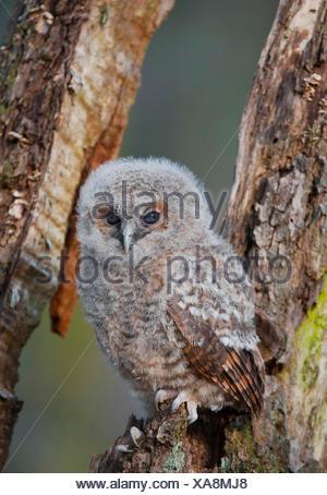Waldkauz, Wald-Kauz (Strix aluco), junger Waldkauz sitzt auf Totholz, Deutschland | Eurasian tawny owl (Strix aluco), young brow - Stock Photo