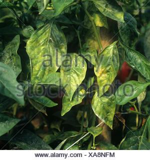 Powdery mildew Leveillula taurica infection on sweet pepper leaf Portugal