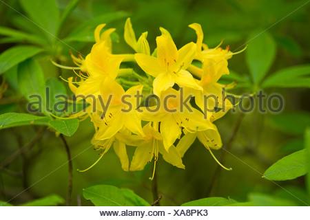 Yellow Azalea or Honeysuckle Azalea (Rhododendron luteum, Azalea pontica), flowering, garden plant, native to Eastern Europe - Stock Photo